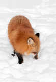 Red Fox (Vulpes vulpes) Sniffs in Snow Royalty Free Stock Photo