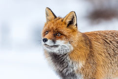 Red fox (Vulpes vulpes) in the snow Stock Image