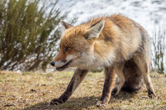 Red fox (Vulpes vulpes) stalking. In the mountain in winter Stock Images