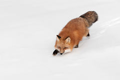 Red Fox (Vulpes vulpes) Stalks Left Through Snow Royalty Free Stock Photo