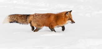 Red Fox (Vulpes vulpes) Stalks Right Through the Snow Royalty Free Stock Images