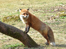 Red fox (Vulpes vulpes) stock image