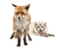 Red Fox, Vulpes vulpes, standing and Arctic Fox isolated on white Royalty Free Stock Photos