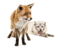 Red Fox, Vulpes vulpes, standing and Arctic Fox, isolated on white Royalty Free Stock Image