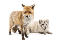 Red Fox, Vulpes vulpes, standing and Arctic Fox isolated on white Stock Image