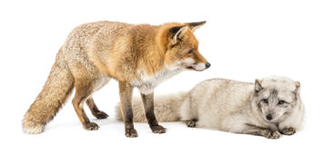 Red Fox, Vulpes vulpes, standing and Arctic Fox, isolated on white Stock Image