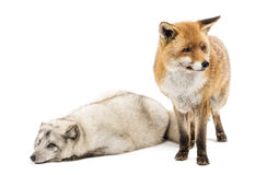 Red Fox, Vulpes vulpes, standing and Arctic Fox, isolated on white Stock Photo