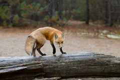 Red fox Vulpes vulpes standing on log in autumn in Algonquin Park. Red fox Vulpes vulpes with bushy tail standing on log in autumn in Algonquin Park, Canada stock photo