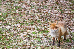 Red fox, Vulpes vulpes Royalty Free Stock Image