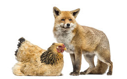 Red fox, Vulpes vulpes, standing next to a Hen, lying Stock Photos