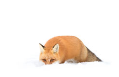 Red fox (Vulpes vulpes) with a bushy tail isolated on white background hunting in the freshly fallen snow in Algonquin. Red fox Vulpes vulpes with royalty free stock photo