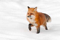Red Fox (Vulpes vulpes) Stands in Fresh Snow Stock Photography