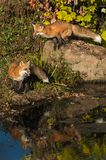 Red Fox Vulpes vulpes Stands One Behind Jumps Off Rock stock photos