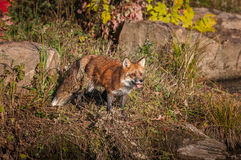 Red Fox Vulpes vulpes Stands With Open Mouth Stock Images
