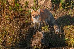 Red Fox Vulpes vulpes Stands on Rock Looking Out. Captive animal Stock Image