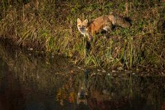 Red Fox Vulpes vulpes Stands on Shoreline Royalty Free Stock Photos