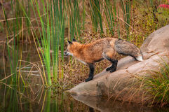 Red Fox Vulpes vulpes Stands on Slope of Rock. Captive animal Stock Image