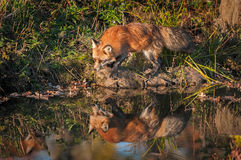 Red Fox Vulpes vulpes Steps with Reflection. Captive animal Royalty Free Stock Photos