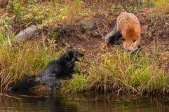 Red Fox (Vulpes vulpes) Threatens Silver Fox Stock Photography