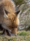 Red fox (Vulpes vulpes) tracking and sniffing Royalty Free Stock Images