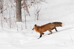 Red Fox (Vulpes vulpes) Trots Through Brushy Area. Captive animal Stock Photos