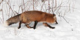 Red Fox (Vulpes vulpes) Trots Right Stock Photos