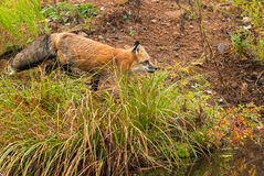 Red Fox (Vulpes vulpes) Trots on Shoreline Stock Images