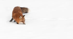 Red Fox (Vulpes vulpes) Turn and Sniff Royalty Free Stock Photos