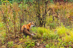 Red Fox (Vulpes vulpes) Turned Right Royalty Free Stock Photos