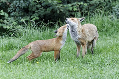 Red fox, Vulpes vulpes Royalty Free Stock Images