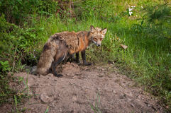 Red Fox (Vulpes vulpes) Vixen Guards Den Entrance and Kits Stock Image