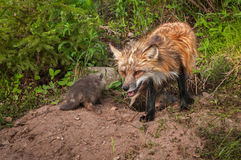 Red Fox Vulpes vulpes Vixen With Kits at Densite Stock Images
