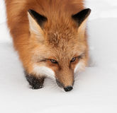 Red Fox (Vulpes vulpes) Walking Through Snow Stock Photos