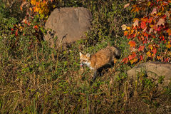 Red Fox Vulpes vulpes Walks Left in Fall Color. Captive animal Stock Photography