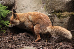 Red fox (Vulpes vulpes). Stock Image