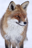 Red Fox (Vulpes vulpes) in winter. Red Fox (Vulpes vulpes) on snow white background looking forward Stock Image