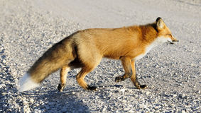 Red fox, Vulpes vulpes in a winter Stock Photo