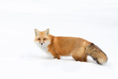 Red fox in winter snow Stock Photos