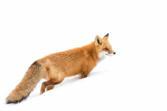 Red fox (Vulpes vulpes) with a bushy tail isolated on white background hunting in the freshly fallen snow in Algonquin. Red fox Vulpes vulpes with stock image