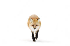 Red fox (Vulpes vulpes) with a bushy tail isolated on white background hunting in the freshly fallen snow in Algonquin. Red fox Vulpes vulpes isolated stock photo