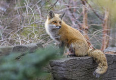 Red fox. (Vulpes vulpes) in winter, waiting for hunting Royalty Free Stock Images