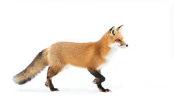 Red Fox Vulpes Vulpes With Bushy Tail Isolated Against A White Background Walking In The Fallen Snow In Algonquin Park, Canada Stock Photography
