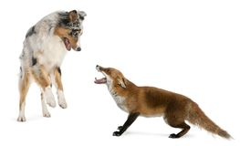 Red Fox, Vulpes vulpes, 4 years old, playing with Australian She. Pherd dog in front of white background Stock Photography