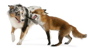 Red Fox, Vulpes vulpes, 4 years old, playing with Australian She. Pherd dog in front of white background Royalty Free Stock Photography