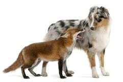 Red Fox, Vulpes vulpes, 4 years old, playing with Australian She. Pherd dog in front of white background Royalty Free Stock Image
