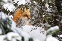 Red Fox portrait through the forest. Red Fox, Vulpes vulpes, in Winter in Algonquin Park Ontario royalty free stock photo