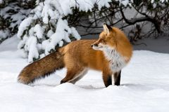 Red Fox vulpes vulpes in deep snow stock photos