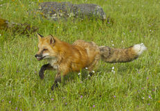 Red Fox walking Stock Image