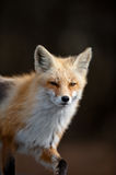 Red Fox Walking Stock Photos