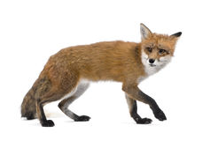 Red Fox walking against white background